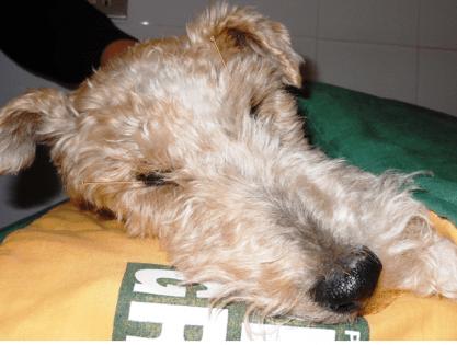 fig 2 caso clinico Agopuntura veterinaria Muffy