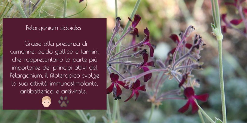 Pelargonium sidoides cane gatto geranio africano