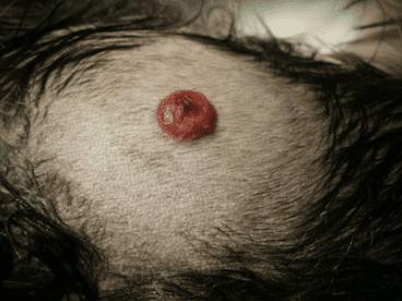 mastocitoma cane immagini