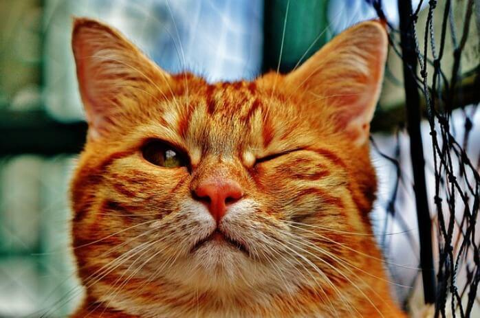 Taurina per gatti