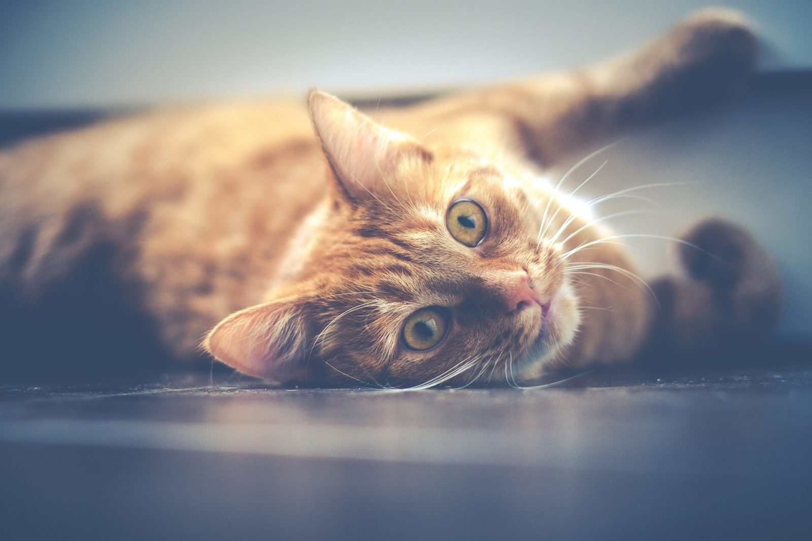 Asma Bronchite nel gatto
