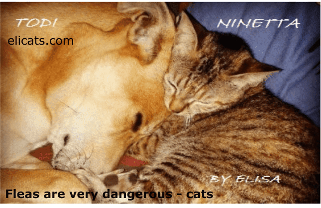 Fleas are very dangerous - cats