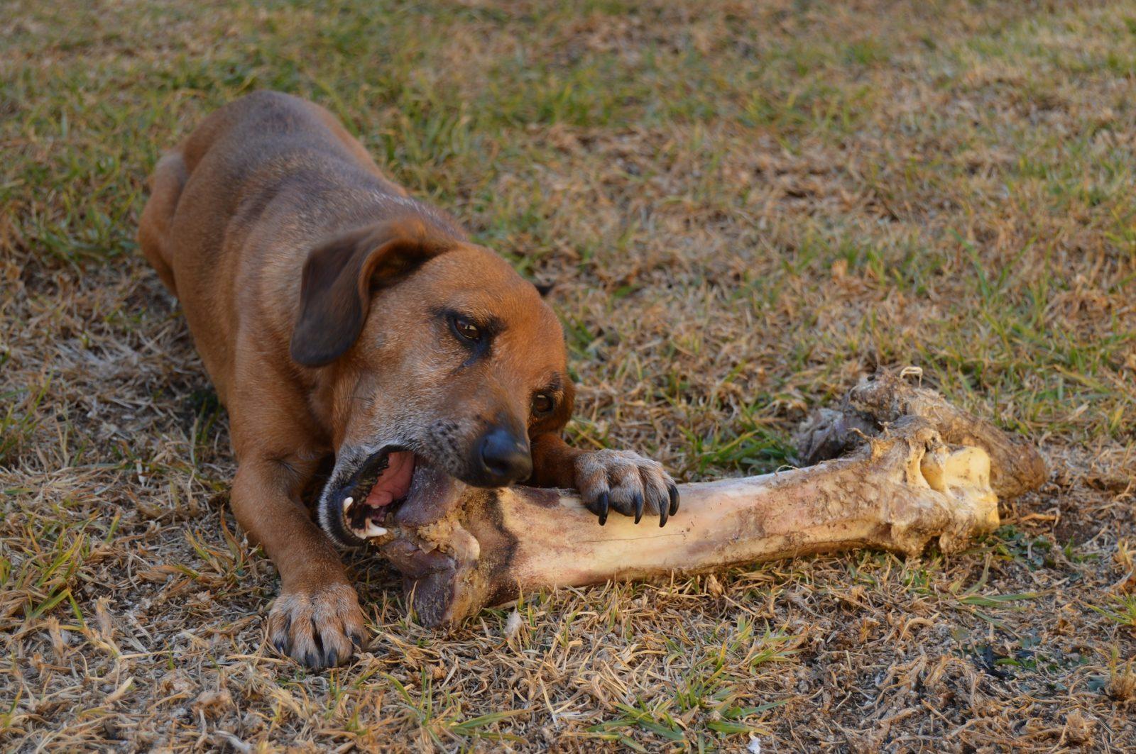 Qual è la quota di ossa RMB Raw Meaty Bones