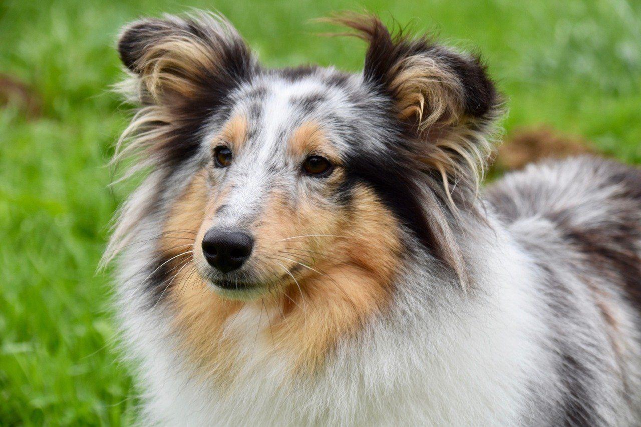 cardo mariano in veterinaria