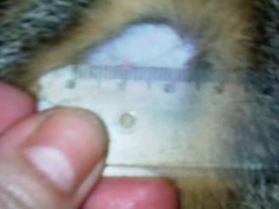 Dermatite nel gatto, Dermatite nel gatto Cause, Lesioni Diagnosi Cure naturali funzionali