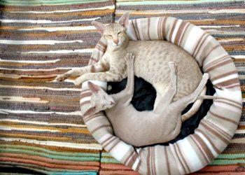 Gatrite nel gatto