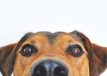 Occhio infiammato cane