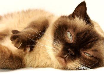 blocco urinario gatto