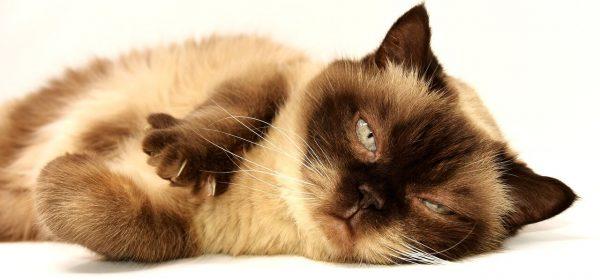 Uretrostomia perineale gatto intervento chirurgico, Blocco Urinario nel gatto Uretrostomia perineale intervento chirurgico