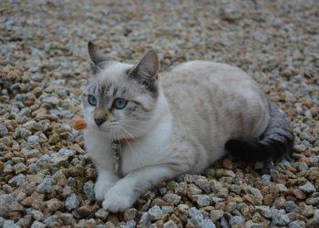 Pica gatto