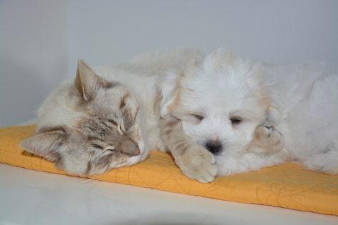 Febbre cane gatto