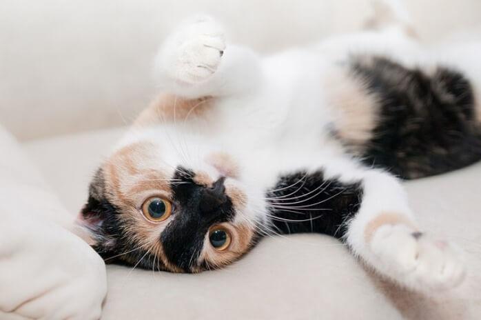 nfiammazione intestinale nel gatto (IBD)