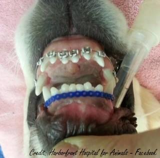 apparecchio ortodonzia cane wesley