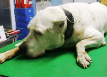 Agopuntura veterinaria