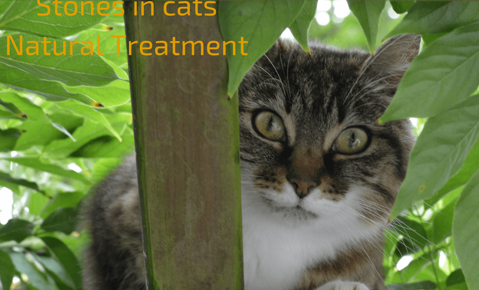 Struvite Bladder Stones in cats Natural Treatment