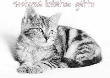 Sistema linfatico cane gatto