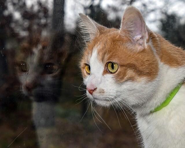 Otite nel gatto