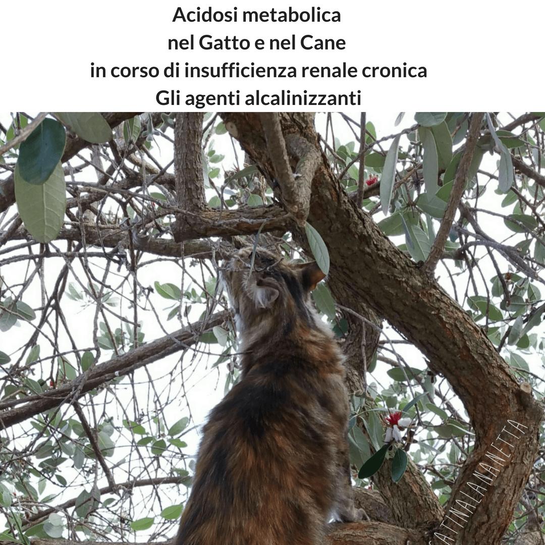 Acidosi metabolica nel Gatto