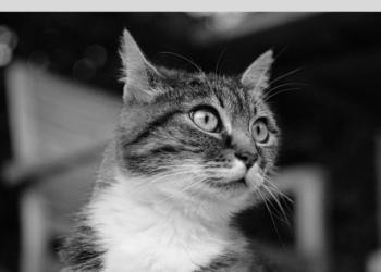 Fip gatto
