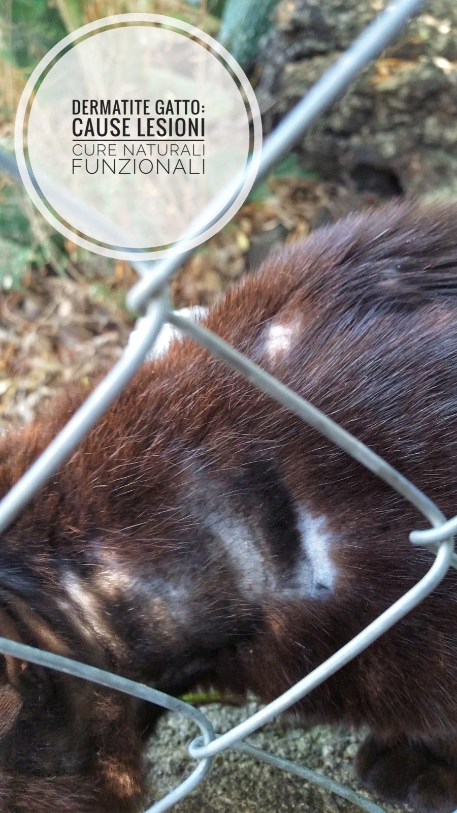 Dermatite Nel Gatto Cause Lesioni Cure Naturali Funzionali Elicatsit