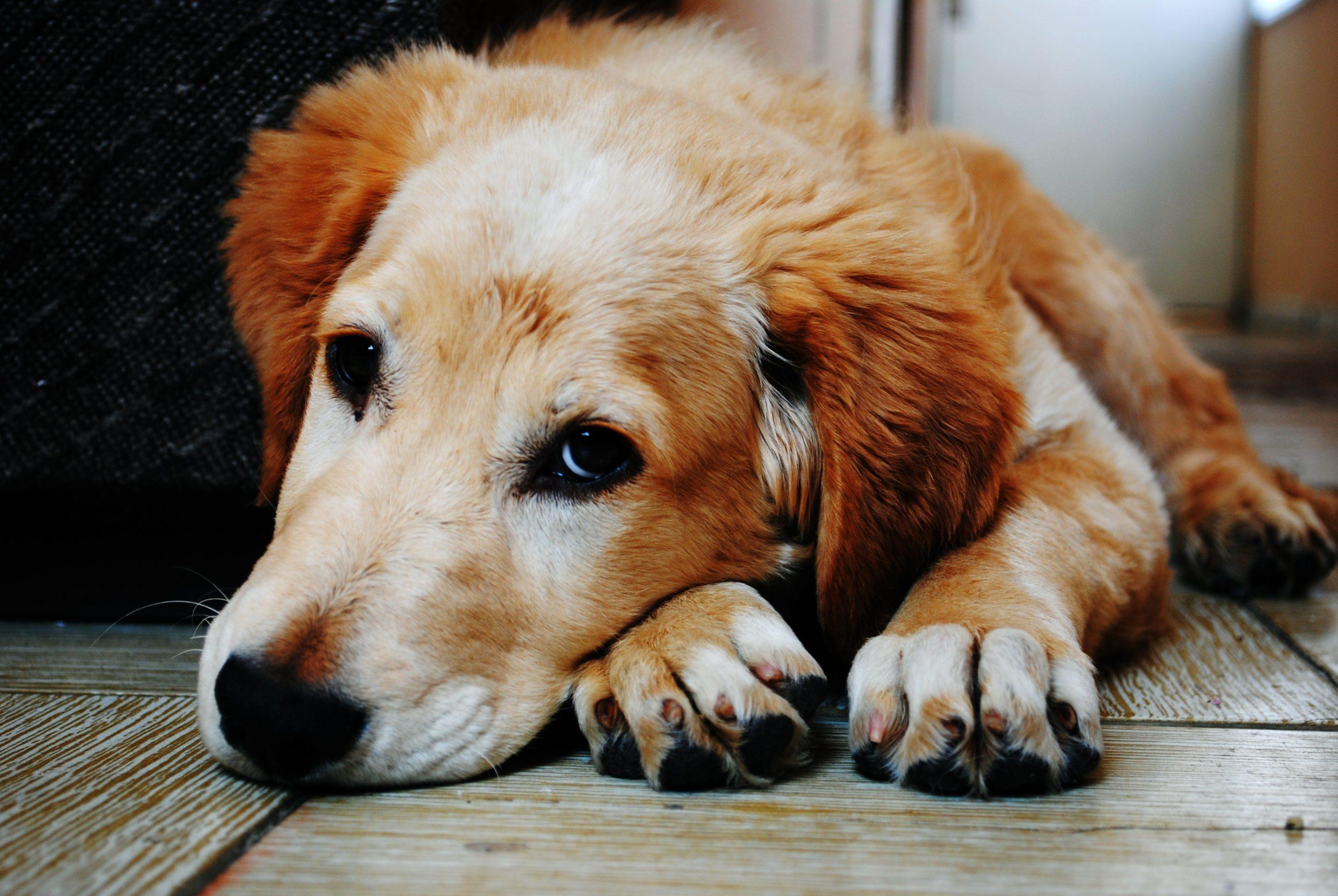 vomito cane