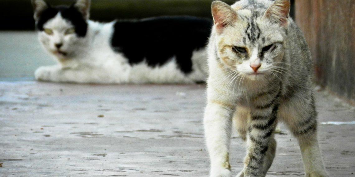calicivirus gatto cura