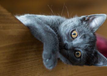 triadite nel gatto