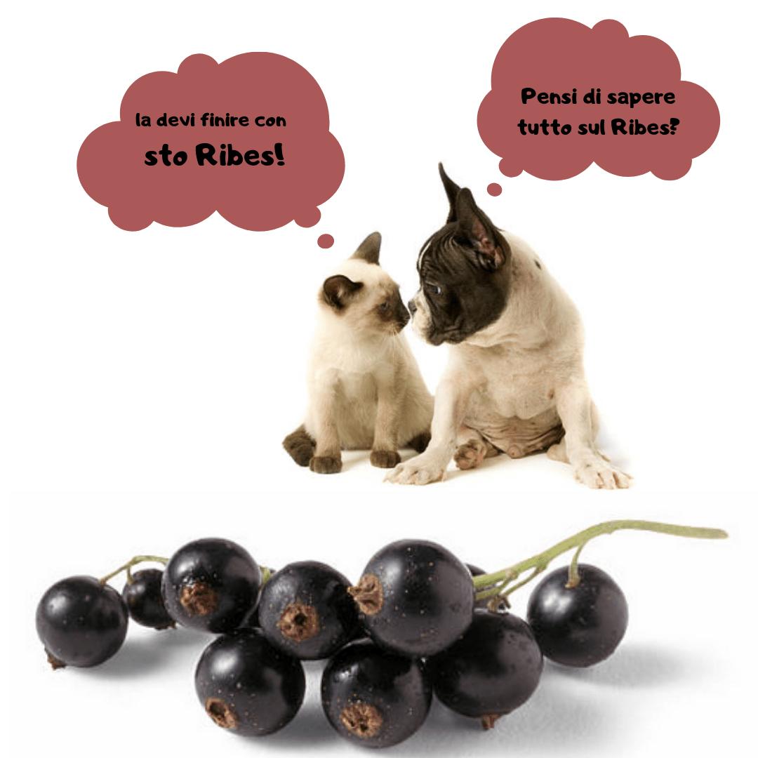 Ribes nigrum cane gatto