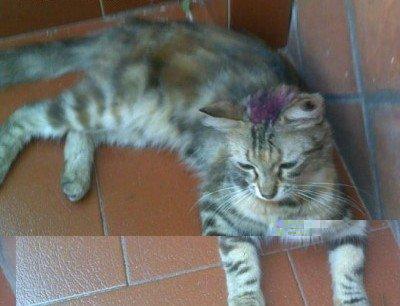 fucsina fenica gatto