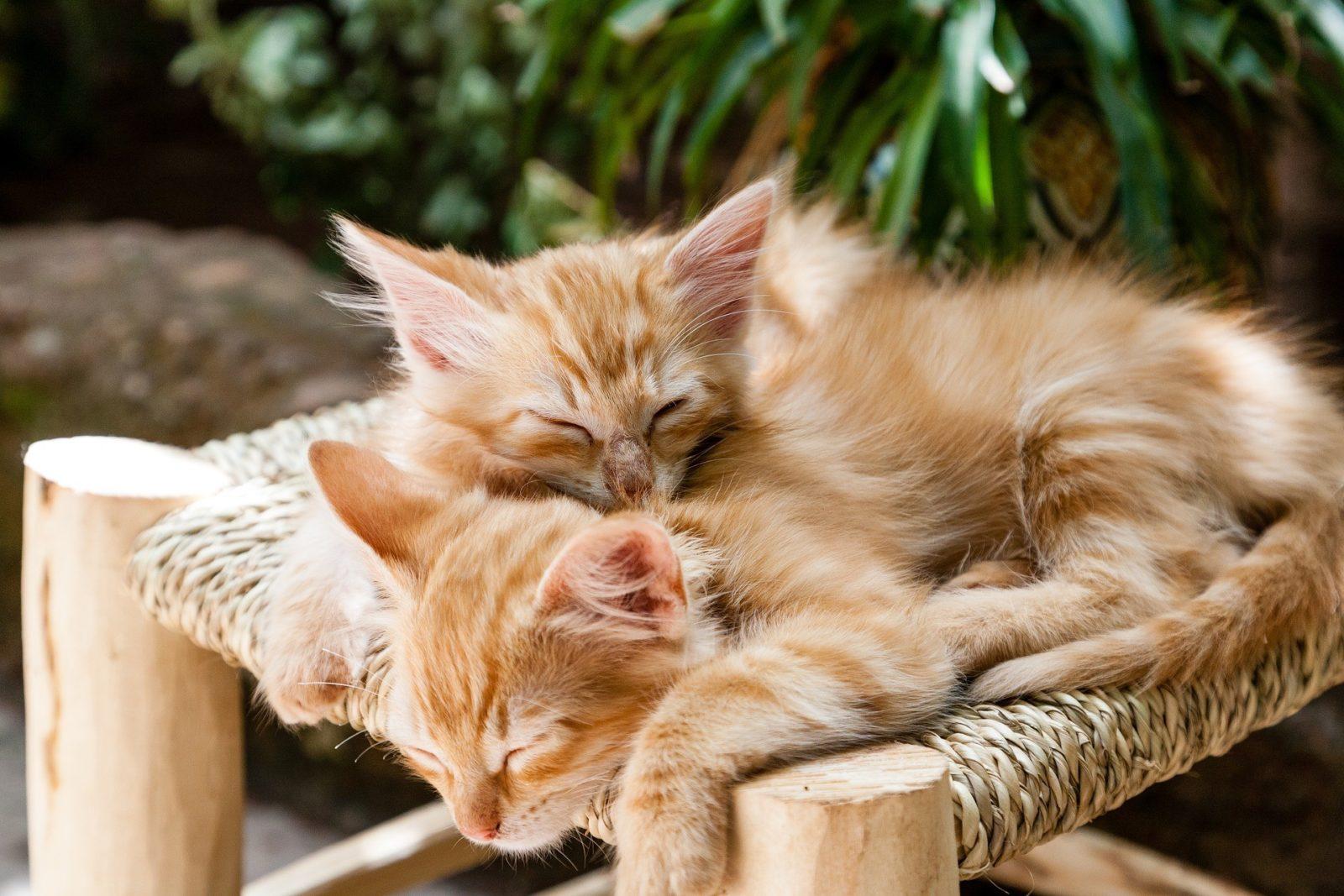 Cosa causa la gastrite nei gatti?