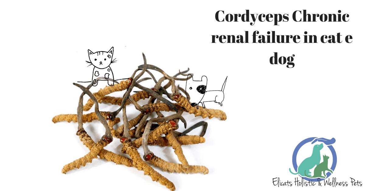 Cordyceps Chronic renal failure cat