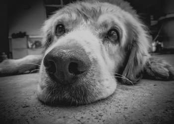 linfoma nel cane